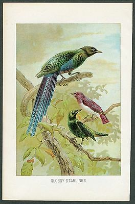 VINTAGE 1890's Color Print, GLOSSY STARLINGS, Chromolithograph, Birds, 017