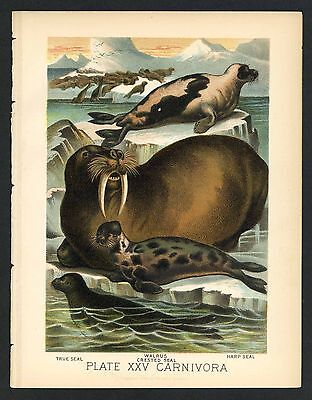 HARP SEAL, WALRUS, CRESTED, Vintage 1897 Chromolithograph Print, Antique, 025