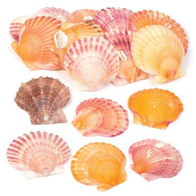 Mini Scallop Shells for Crafting. Embellish Natural Arts & Crafts (Pack of 250g)