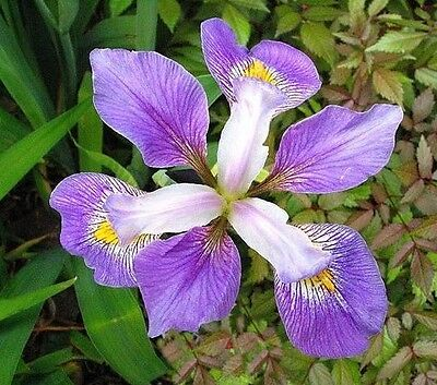 Water Plants- Iris virginica  orchid