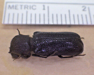 Nice Horned Powderpost Beetle Apatides fortis ? Bostrichidae Coleoptera S TX H14