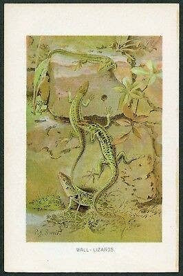 WALL LIZARDS, Vintage 1890's Chromolithograph Print, Antique, P J Smith, 071