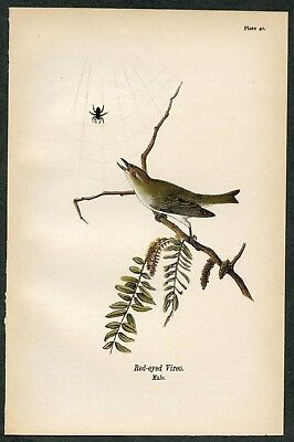 RED-EYED VIREO, Vintage 1890 Chromolithograph, Color Print, Antique, 040