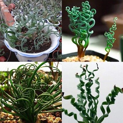 200pcs Seeds Rare Spiral Succulents Blue Grass Seed Courtyard Plant Home Decor