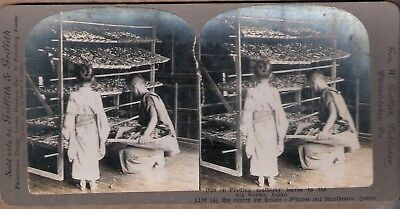 Stereo Foto Japan Nippon Feeding mulberry leaves to the silk worms Seidenraupen