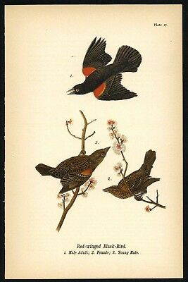 BLACK BIRD, Vintage 1890 Chromolithograph, Color Bird Print Antique, 027