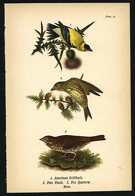 FINCH SPARROW, Vintage 1890 Chromolithograph, Color Bird Print Antique, 031
