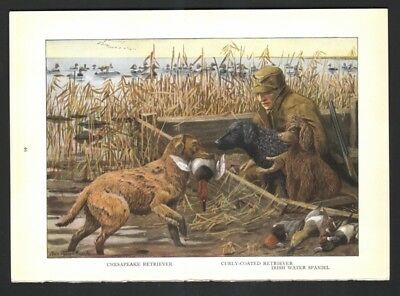 IRISH SPANIEL and CHESAPEAKE and CURLEY COATED  RETRIEVER Dog Print Fuertes 1927