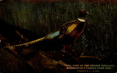 Postcard Full View of Chinese Pheasant Washington's Famous Game Bird