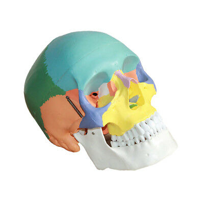 3 Parts Colored Anatomical Human Life Size Skull Medical Model High Quality