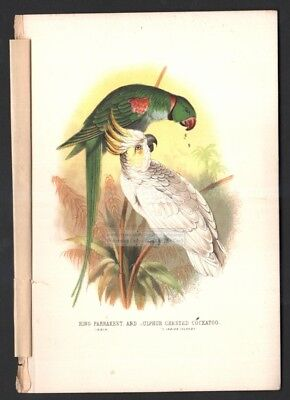 Ring Parrakeet and Sulphur Crested Cockatoo Original c1870s Color Print