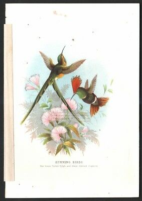 Hummingbirds Green Tailed Sylph and Crested Coquette Original c1870s Color Print