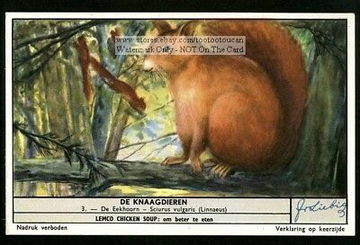 The Squirrel  Sciurus vulgaris 50 Y/O Trade Ad Card