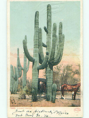 Pre-1907 HORSE AND CARRIAGE UNDER HUGE CACTUS - PROBABLY IN ARIZONA AZ k6880