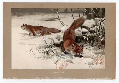 Common Fox Original c1895 Color Chromolithography Print