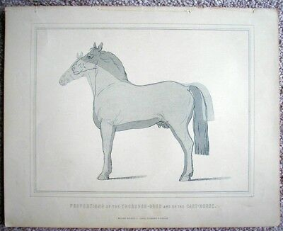 Thoroughbread And Carthorse Proportion LARGE c1890 Print