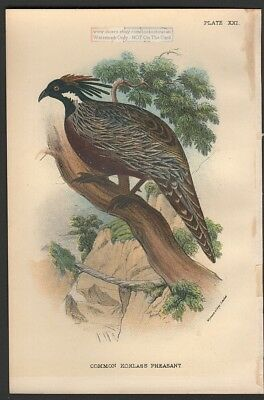 Common Koklass Pheasant Original 1896 Bird Print