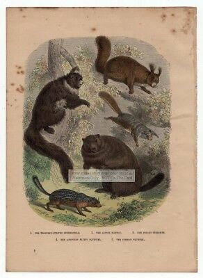 Marmot American Flying Squirrel Spermophile c1900 Chromolithograph Color Print