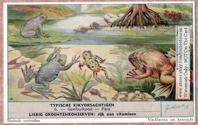 Yellow Bellied Toad  Amphibian c60 Y/O Trade Ad Card