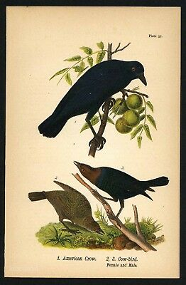 AMERICAN CROW COW-BIRD, Vintage 1890 Chromolithograph, Color Print, Antique, 057
