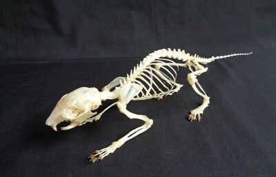 Taxidermy: Callosciurus Notatus Skeleton