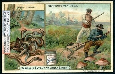 Snakes South African Poisonous Adder Viper Reptile 1902 Trade Ad Card