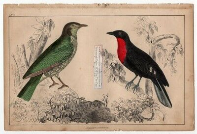 Red Brested Fruit Crow and Araponga Bird c1860 Hand Colored Litho Print