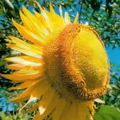 Cake Sunflower Seed 15 Seeds Helianthus Annus Beautiful Garden Flower Seed A303