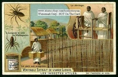 Silk Producing Spider Of Madagascar c1903 Trade Ad Card