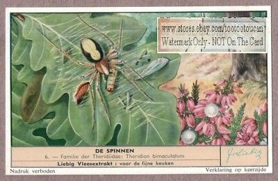 Tangle-Web Spider Theridon bimaculatum c50 Y/O Vintage Trade Ad Card
