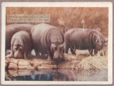 African Hippopatamus 75+ Y/O Ad Trade Card