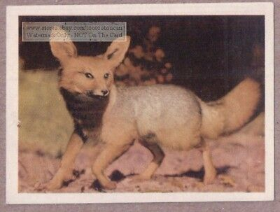 African Silver Fox 75+ Y/O Ad Trade Card