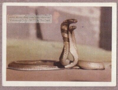 African Yellow Cape Cobra Snake 75+ Y/O Ad Trade Card