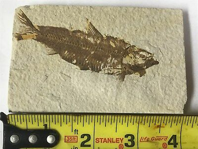 (#74) Knightia Eocaena Fish Fossil Green River Formation Wyoming Eocene Age