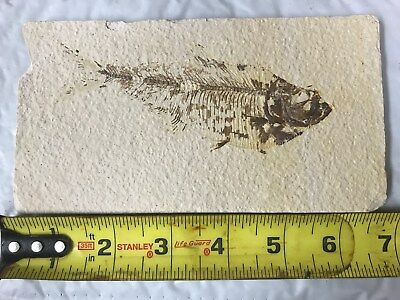 (#45) Knightia Eocaena Fish Fossil Green River Formation Wyoming Eocene Age