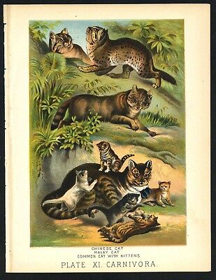 CAT, COMMON, CHINESE, MALAY, Vintage 1897 Chromolithograph Print, Antique, 011
