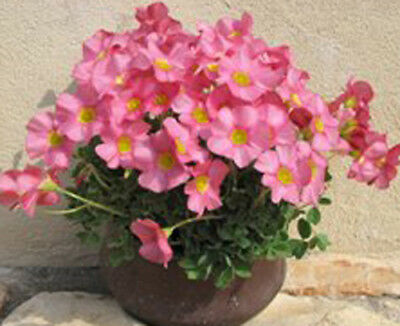 oxalis Moran bulb - finish sale !