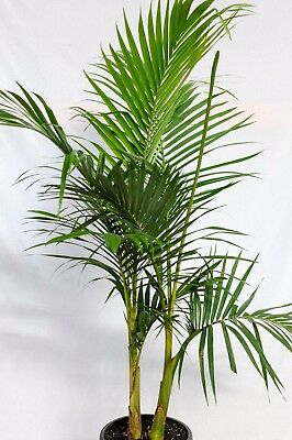Bangalow Palm Up To 1M Tall