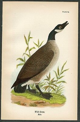 WILD GOOSE, Vintage 1890 Chromolithograph, Color Print, Antique, 064