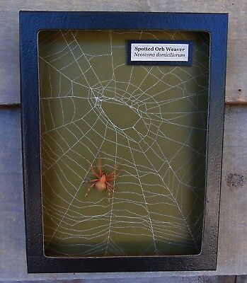 W8) Real Spotted Orb Weaver Spider on actual Web framed shadowbox taxidermy USA