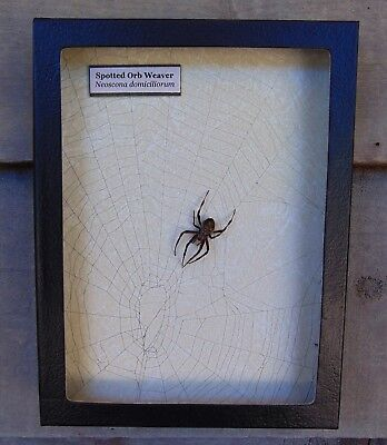W10) Real Spotted Orb Weaver Spider on actual Web framed shadowbox taxidermy USA