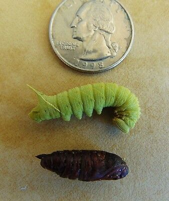 Real BLINDED SPHINX MOTH Life Cycle Taxidermy Set Caterpillar Pupa Paonias larva