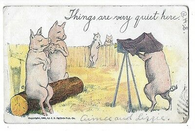 1905 Private Mailing Card / Postcard ~ PIGS!  When No One Is Looking!!  Too Fun!
