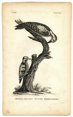 1776 T. Pennant Spotted Woodpeckers Copper Engraving Antique Bird Zoology Print
