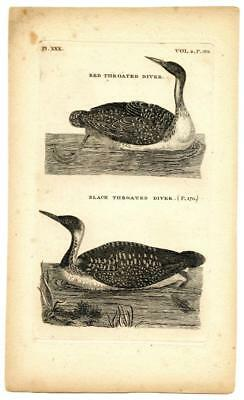 1776 Pennant Red Throated Diver Loon Copper Engraving Antique Bird Zoology Print
