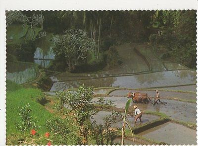 Ploughing Indonesia Old Postcard 0961