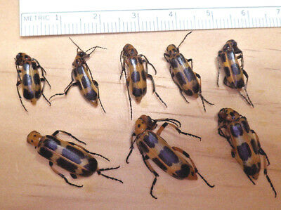 8X Charlie Brown Blister Beetles Pyrota sp ? Meloidae Coleoptera South TX J227