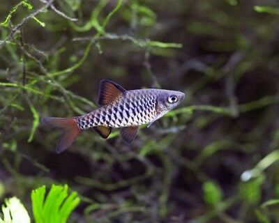 Checkered Barb - Tropical Fish - Small & Gentle - Community Fish