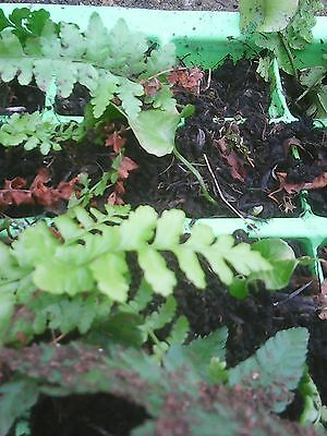 """pack of 6 """"baby"""" bare root ferns-established roots,ready to plant out.TO CLEAR."""