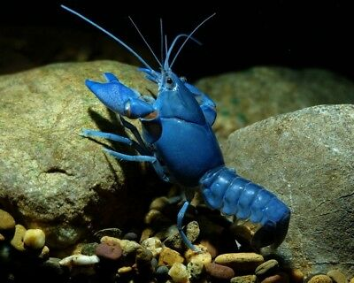 Cobalt Blue Lobster - Tropical Fish Tank Cleaner - Community Fish